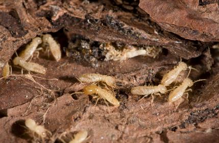 Termites In Bark