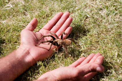 tarantula in hands
