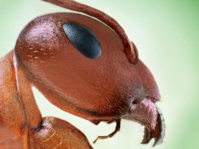 Fire Ant Face