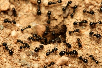 Houston Ants